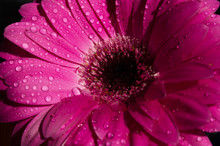 Beautiful Purple Magenta Flower Isolated On Black Background .purple Gerbera With Dew Drops On Top.