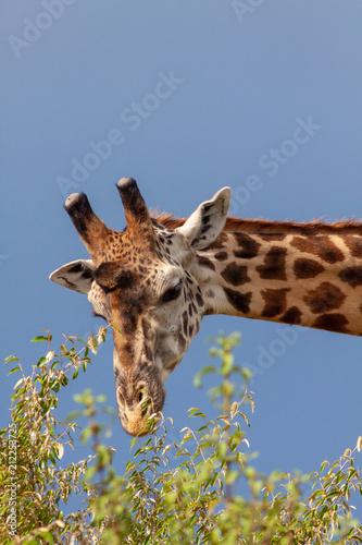 Staande foto Giraffe Giraffe eating leaves from a tree