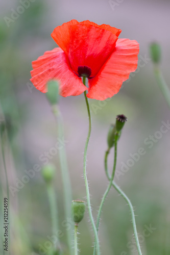 Deurstickers Klaprozen Red poppies field, remembrance day symbol