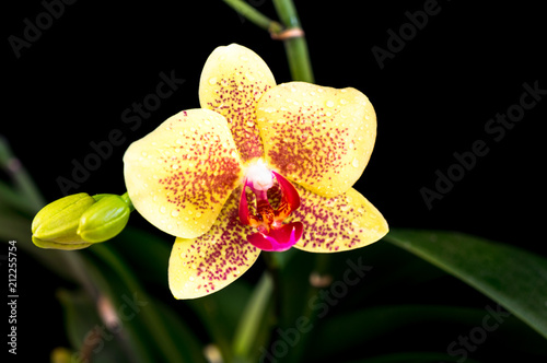 Keuken foto achterwand Orchidee Beautiful yellow-purple phalaenopsis orchid on a black background