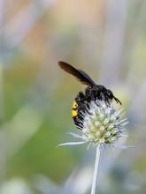 Mammoth Wasp Megascolia Macula...