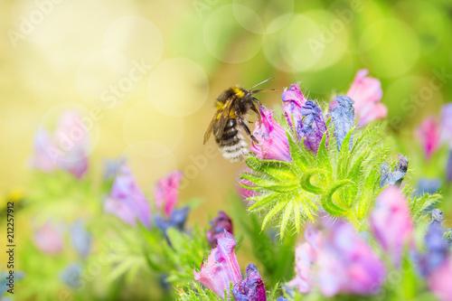Wildbiene oder Hummel auf Natternkopf (Echium)