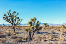 Joshua Tree And Forest  In The...