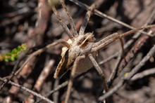 Nursery Web Spider With Egg
