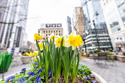 Fotografie, Tablou Macro closeup of spring daffodil urban yellow flowers in New York City, USA, on