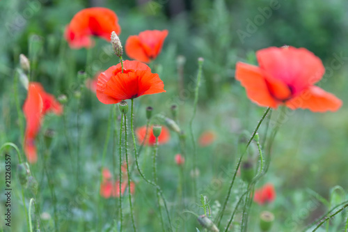 Fotobehang Poppy Red poppies field, remembrance day symbol