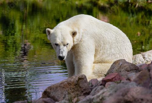 Keuken foto achterwand Ijsbeer Eisbär am See II