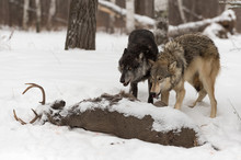 Grey Wolves (Canis Lupus) Stand Over White-Tail Buck Carcass