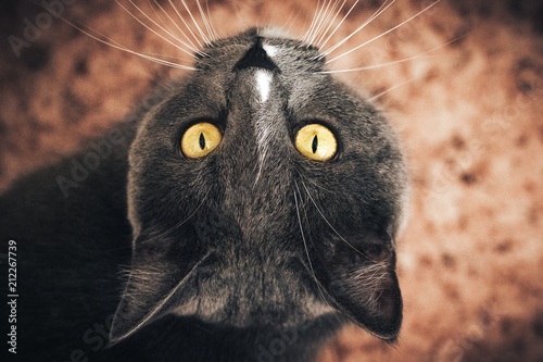 Deurstickers Hand getrokken schets van dieren Portrait of Russian blue Cat on Isolated Black Background. the cat looks up, squinting a little, sniffing.