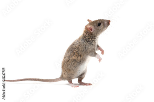 closeup young rat   (Rattus norvegicus) stands on its hind legs and looking up. isolated on white background