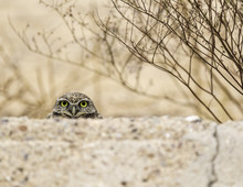 Burrowing Owl In The Arizona Sonoran Desert