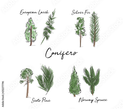 hand drawn conifer trees collection Tapéta, Fotótapéta