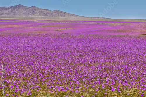 Fotografía  From time to time rain comes to Atacama Desert, when that happens thousands of f