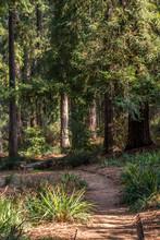 Redwood Hiking Trail Through A...