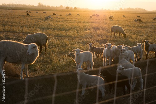 Fotografie, Obraz  baby lamb sheep in pasture