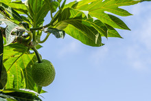 One Young Green Breadfruit (artocarpus Altilis) Hanging On Tree Between Leaves In Tropical Climate Of Jamaica In The Caribbean, Against Clear Blue Sky Background. Popular Healthy Food For Breakfast.