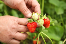 Farmer With Ripening Strawberries In Garden