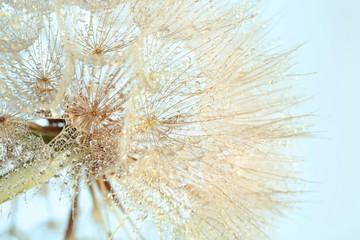 Fototapeta Dmuchawce Dandelion seed head on light background, close up