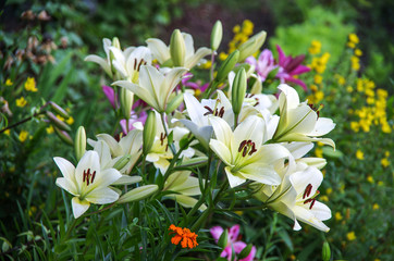 Lilium in the garden