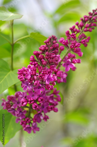 Foto op Aluminium Lilac Purple lilac bush blooming in May day