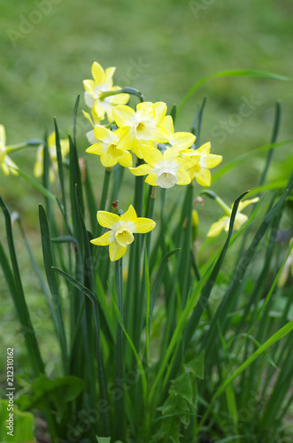 In de dag Narcis Yellow daffodils in spring garden