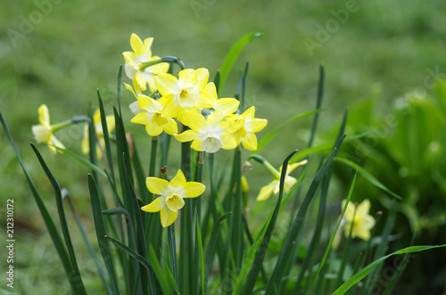 Yellow daffodils in spring garden