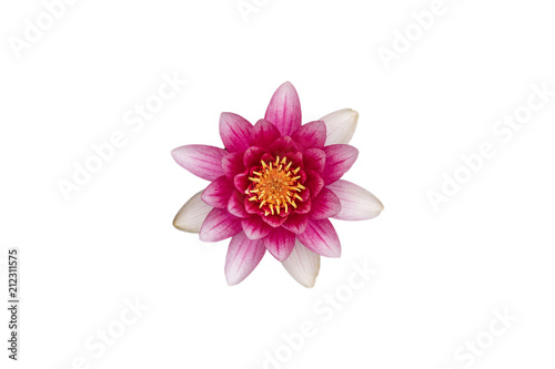 Deurstickers Waterlelies Pinke Seerose isoliert auf weiss