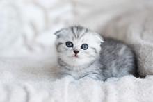Little Grey Kitten With Blue E...