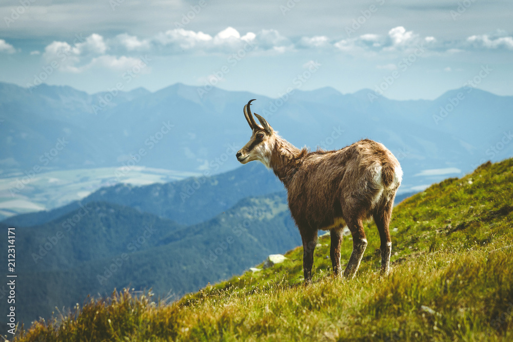 Fototapety, obrazy: Tatra chamois on the hill