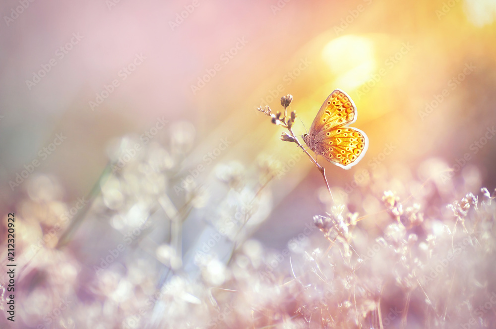 Fototapeta Golden butterfly glows in the sun at sunset, macro. Wild grass on a meadow in the summer in the rays of the golden sun. Romantic gentle artistic image of living wildlife.