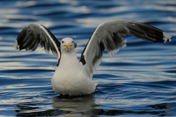 Great black-backed gull landing on the sea and look, romsdalfjord, norway, (larus marinus)
