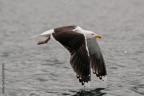 Great black-backed gull flight over the north sea,  romsdalfjord, norway, (larus marinus)