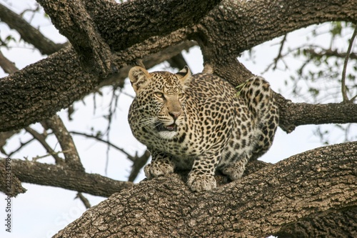 Tuinposter Luipaard Leopard in a tree