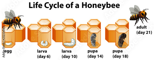 Photo Life cycle of a honeybee