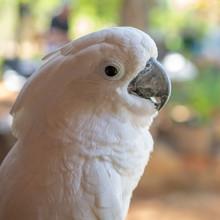 White Cockatoo Side Portrait