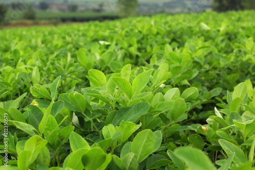 Photo Leaves of Arachis hypogaea L. In the morning sunlight