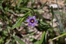 Stout Blue-Eyed Grass