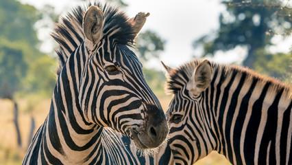 Fototapeta na wymiar Zebras in close up