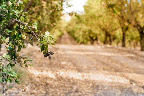 Long alley of almond trees in orchard lit by warm golden sunlight Fototapeta