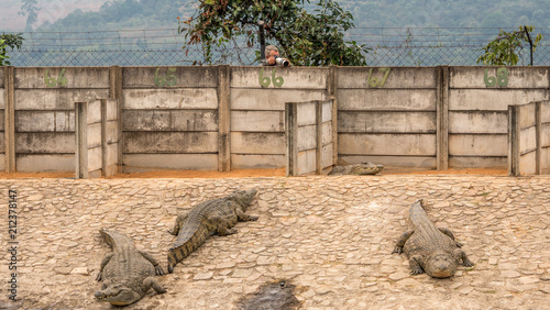 Photo  A crocodile farm in South Africa with many large reptiles on display