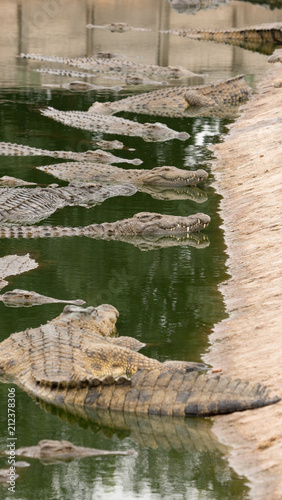 A crocodile farm in South Africa with many large reptiles on display Canvas Print
