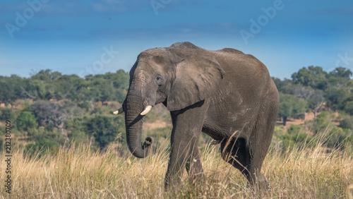 Foto op Aluminium Afrika Lone bull elephant in a grassy area in Chobe park Africa.