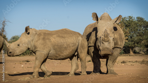Poster Neushoorn Rhinoceros looking powerful as they walk towards camera in Africa.