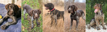 Collage Of A Photo Of A Hunting Dog