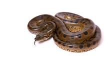 Green Anaconda (Eunectes Murin...