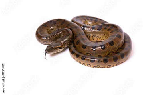Photo Green anaconda (Eunectes murinus) - 2