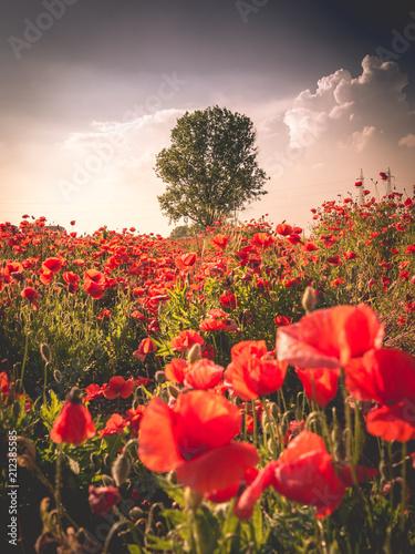 Fotobehang Poppy Field of poppies
