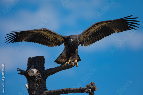 Photo  3-months old bald eagle eaglet landing, seen in the wild in  North California