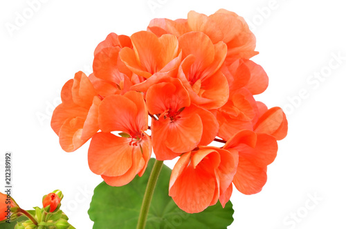 Balmy Geranium flower