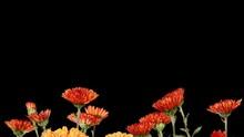 Blooming Orange Chrysanthemum Flower Buds ALPHA Matte, Full HD